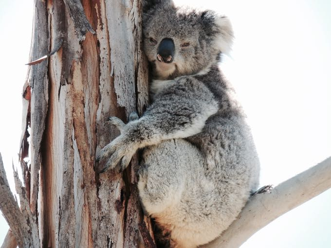 Koala at Old Chilli